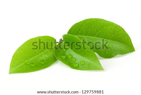 Bay leaf isolated on white background - stock photo