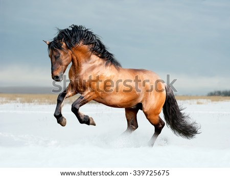 Bay lusitano breed horse in winter field - stock photo