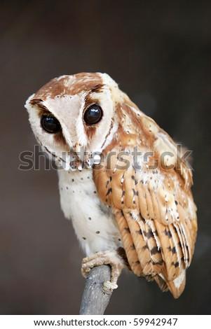 Bay owl with huge dark eyes. - stock photo