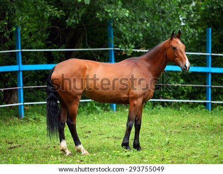Bay polo pony in summer stud farm, electric fence   - stock photo