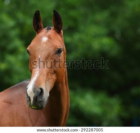 Bay polo pony portrait in stud farm - stock photo