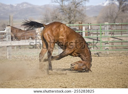 Bay Quarter horse falls on head