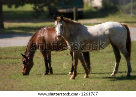 Bay Quarter Horse gelding and roan Appaloosa mare grazing in pasture with a soft focus - stock photo