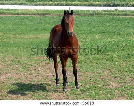 Bay quarter horse mare standing alone in the pasture - stock photo