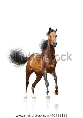 bay stallion isolated on white - stock photo