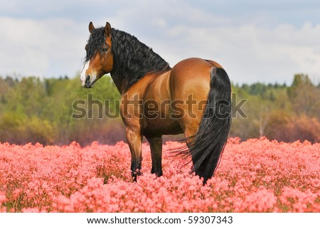 bay stallion on the pink field - stock photo