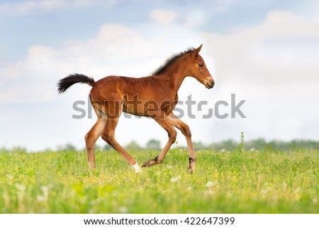Bay stallion run gallop isolated on white background - stock photo