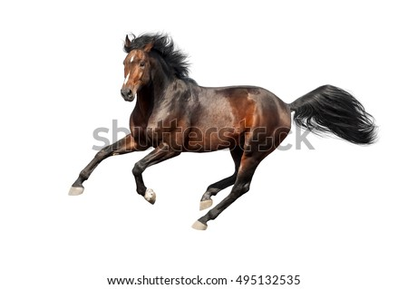 Bay stallion run isolated on white background