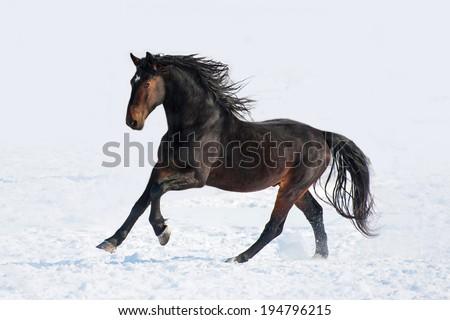 Bay stallion running in winter - stock photo