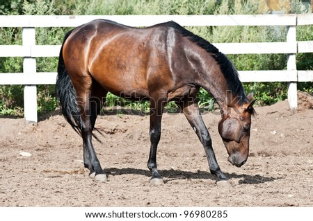Bay thoroughbred horse on paddock lowered his head to the ground - stock photo