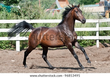 Bay thoroughbred horse on paddok run gallop - stock photo