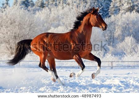 Bay trakehner stallion galloping in winter - stock photo