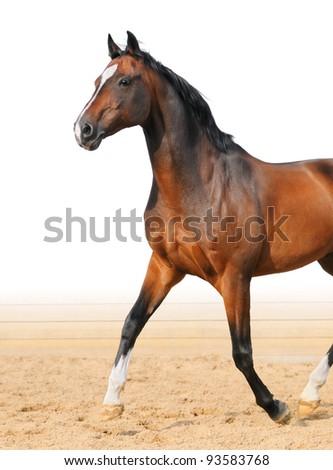 Bay Trakehner stallion trot on arena - stock photo