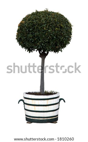 Bay tree (Latin name Laurus nobilis) - stock photo
