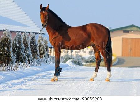 Bay young horse exterior - stock photo