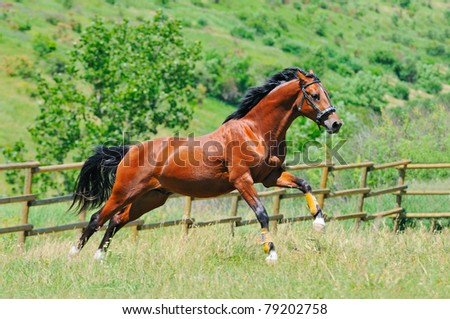 Bay young horse galloping in the paddock - stock photo