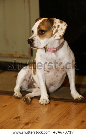 Beabull puppy/ Beagle , bulldog mix