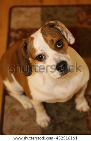 Beabull puppy mix - stock photo