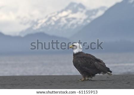 Beach Break - A bald eagle takes a break on the beach in Homer, Alaska. - stock photo