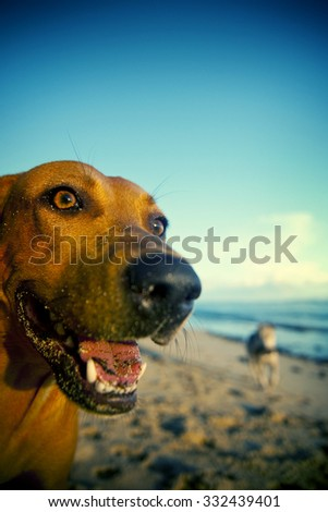 Beach Dog on Samoa Beach Playful Pet Concept - stock photo