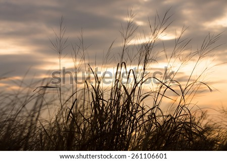 Beach grass silhouette against a cloudy sky at sunrise at Flag Ponds Nature Park in Southern Maryland. - stock photo
