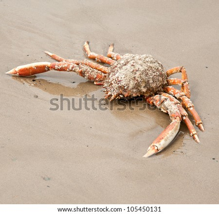 Beached Crab - stock photo