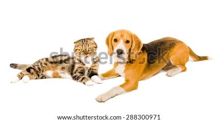 Beagle and cat Scottish fold lying together isolated on white background - stock photo