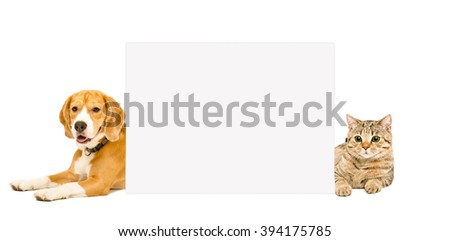 Beagle and cat Scottish Straight lying behind a banner isolated on white background - stock photo