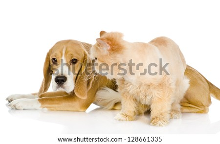 Beagle and persian cat. isolated on white background
