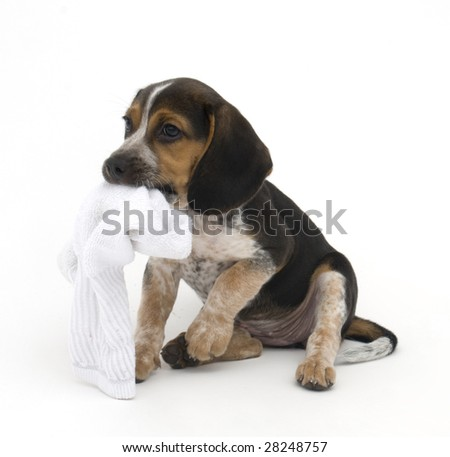 Beagle Chewing on Sock - stock photo