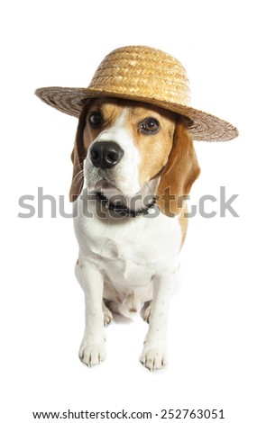 Beagle close-up with strawhat isolated over white - stock photo