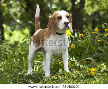 beagle dog - stock photo