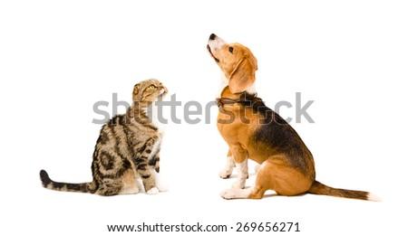 Beagle dog and cat Scottish Fold sitting together isolated on white background - stock photo