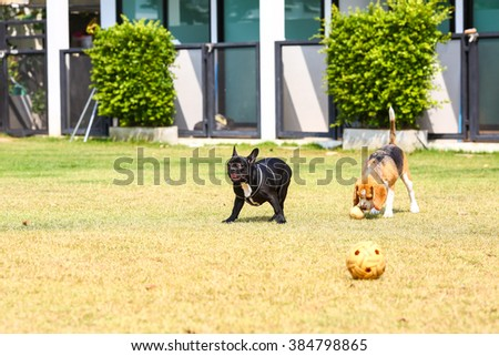 Beagle dog and french bulldog playing together - stock photo