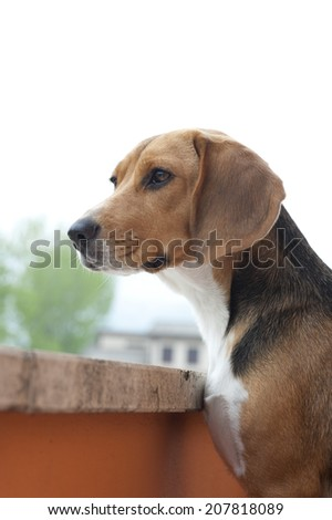 beagle dog awaiting the arrival of her owners