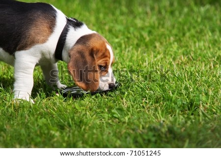 beagle dog drunks water on the grass