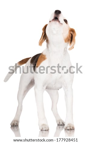 beagle dog howling - stock photo