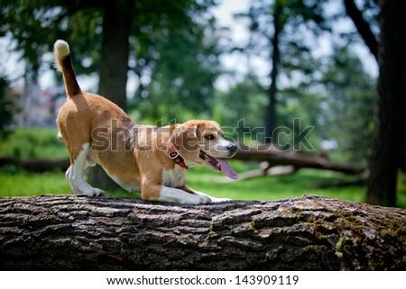 beagle dog hunter nature - stock photo