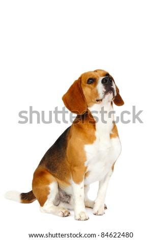 Beagle dog in studio on a white background - stock photo