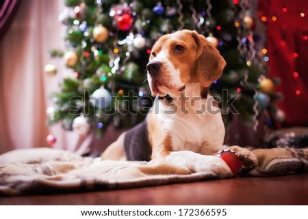 beagle dog. interior,  Christmas and New Year - stock photo