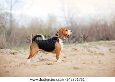 Beagle dog is standing in profile in the spring - stock photo