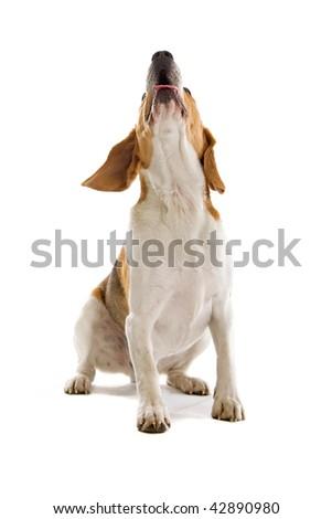 beagle dog isolated on a white background - stock photo