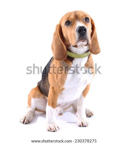 Beagle dog isolated on white - stock photo