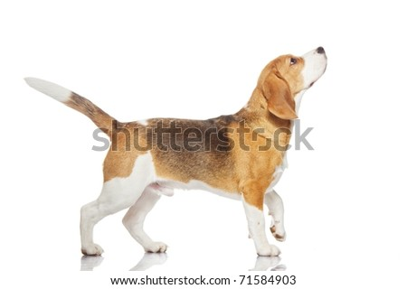 Beagle dog isolated on white background - stock photo