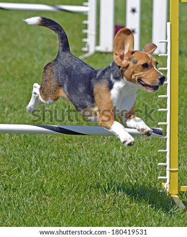 Beagle Dog Jumping Fence  With Ears Up - stock photo