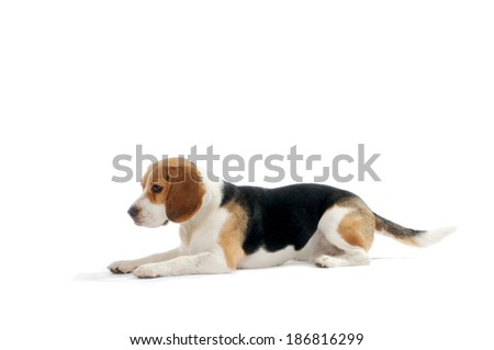 Beagle dog lay down, isolated on white background