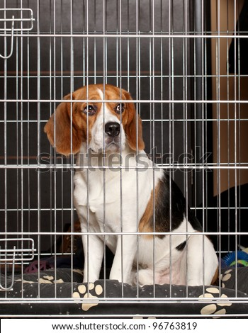 Beagle Dog locked in iron cage - stock photo