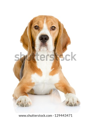 Beagle dog looking at camera. isolated on white background - stock photo