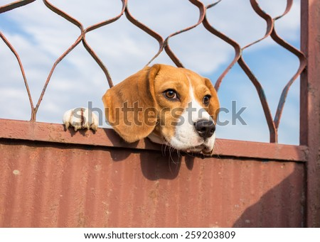 Beagle dog looking through gate - stock photo