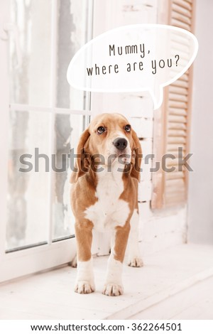 "Beagle dog near window and qoute: ""Mummy, where are you?"" - stock photo"